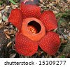 Rafflesia, the biggest flower in the world ,  Borneo, Malaysia - stock photo
