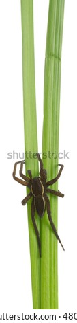 Raft spider, Dolomedes fimbriatus isolated on white background