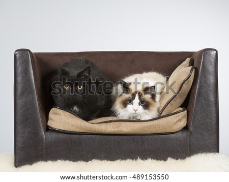 Rag doll and domestic cats on a sofa. Image taken in a studio.