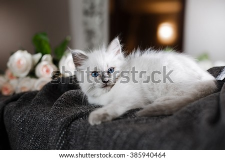 Ragdoll blue point little kitten on a colored background studio - stock photo