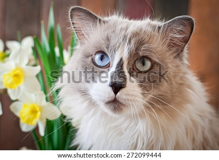 Ragdoll cat breed and a vase of narcissus on a wooden background - stock photo