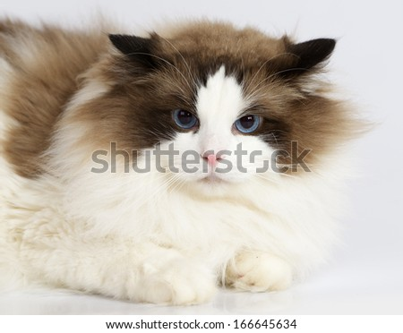 Ragdoll cat sitting in front of white background