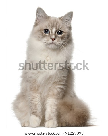 Ragdoll cat, 1 year old, sitting in front of white background - stock photo