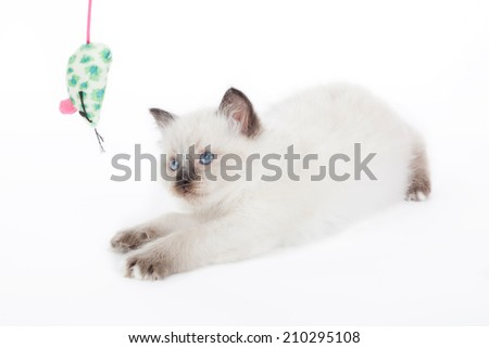 Ragdoll kitten playing with toy mouse on white background - stock photo