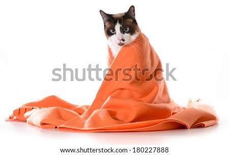 ragdoll kitten sitting under orange blanket on white background - male - stock photo