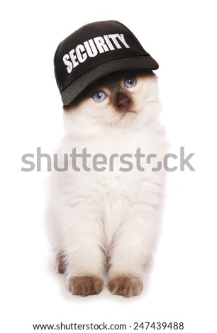 Ragdoll kitten wearing security baseball hat cutout - stock photo