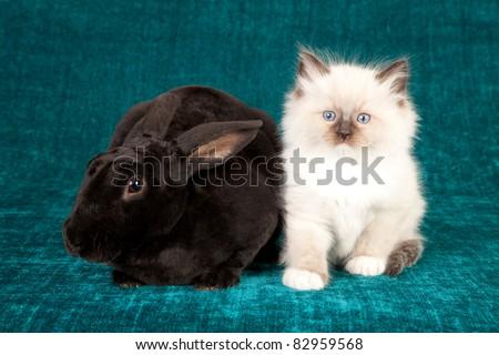 Ragdoll kitten with Black Rex rabbit bunny on teal background - stock photo