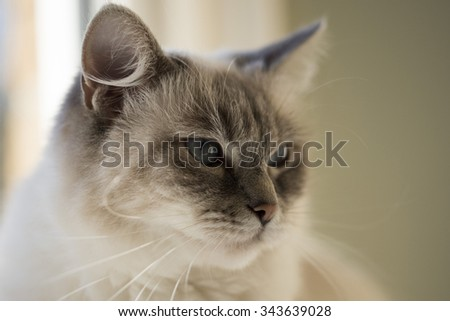 Ragdoll Kitty - stock photo