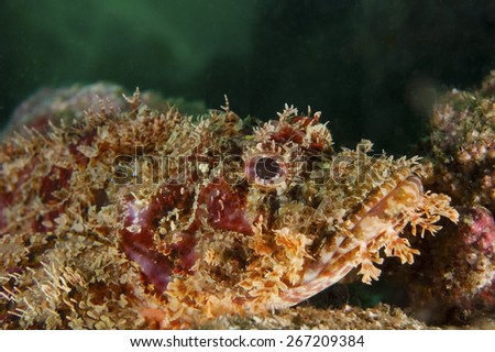 Raggy Scorpionfish-Scorpaenopsis cirrhosa, Kanagawa Prefecture/Japan, 2010/7/19.  - stock photo