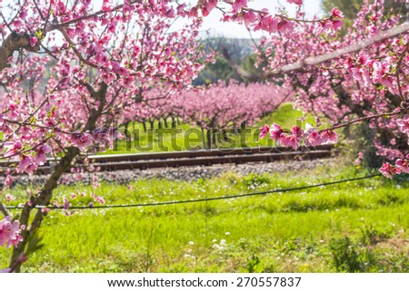railroad tracks along the arrival of spring in the blossoming of peach blossoms on trees planted in rows: according to traditional agriculture these trees have been treated with wide range fungicides