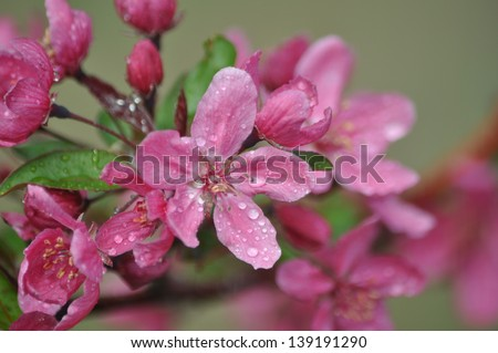 Crab apple stock photos illustrations and vector art