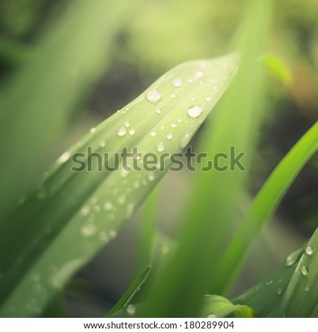 Rain drops on fresh green grass in the rays of the setting sun.Green background with grass.Vintage toned. - stock photo