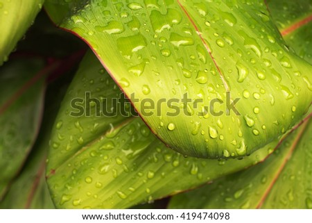 Rain Drops On Green Leaves, Close-up, Selective Focus. - stock photo
