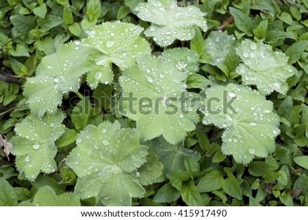RAIN DROPS ON LADY'S MANTLE (ALCHEMILLA MOLLIS THRILLER) - stock photo