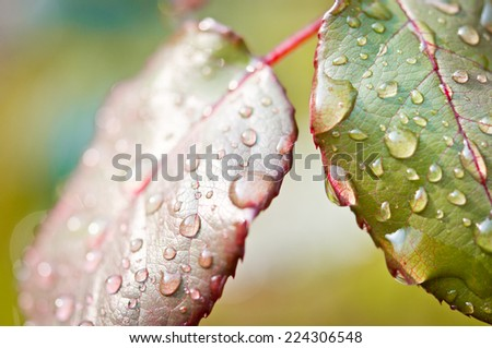 Rain drops on leaves - stock photo