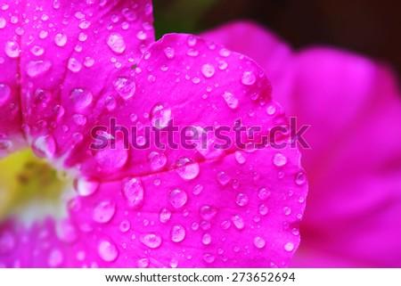 Rain drops on pink flowers - stock photo