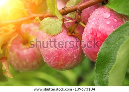 Rain drops on ripe apples - stock photo
