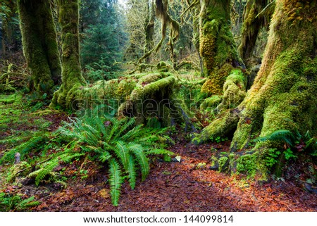 Rain forest in spring, Olympic national park, WA - stock photo