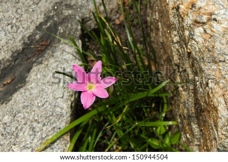 Rain Lily (Fairy Lily, Zephyranthes rosea) blooming growing out of the rock - stock photo