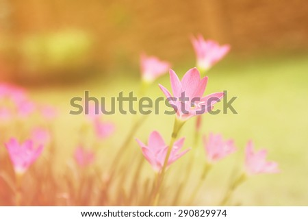 Rain Lily flower background. beautiful flowers made with color filters