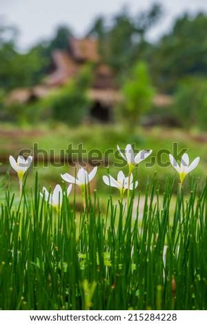 Rain lily garden - stock photo