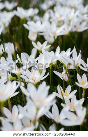 Rain lily garden fading into the background in Chiang Mai - stock photo