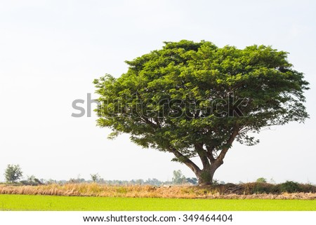 Rain tree is the poplar, which is growing, sprawling isolation lonely on paddy agriculture in Thailand. - stock photo