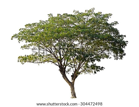 Rain tree isolated on white background - stock photo