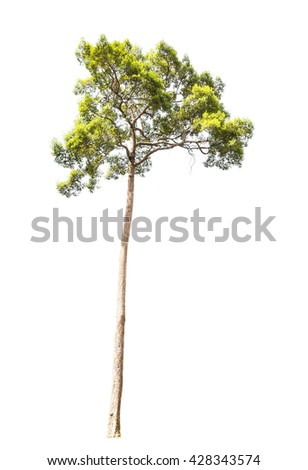 Rain tree, tropical rainforest tree on white background