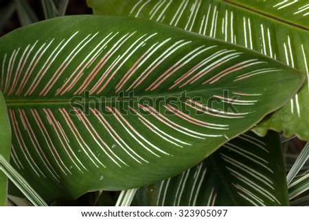 Rainbow arrowroot's amazing leaf(Calathea roseopicta)