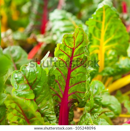 Rainbow chard growing in a garden