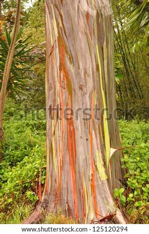 Rainbow Eucalyptus - stock photo