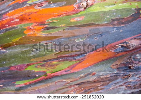 Rainbow eucalyptus tree bark background - stock photo