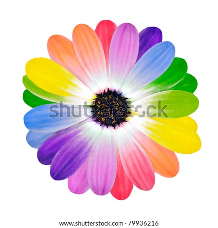 Rainbow Flower -  Multi Colored Petals of Daisy Flower Isolated on White Background. Range of Happy Joyful Multi Colours. - stock photo