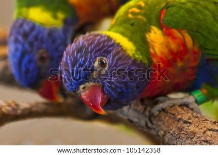 Rainbow Lorikeet - stock photo