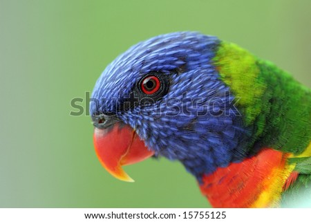 Rainbow Lorikeet Closeup - stock photo