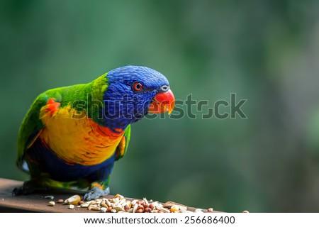 Rainbow lorikeet enjoying a snack of bird seed - stock photo