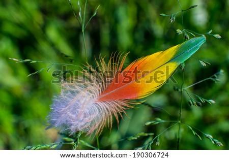 Rainbow Lorikeet feather - stock photo