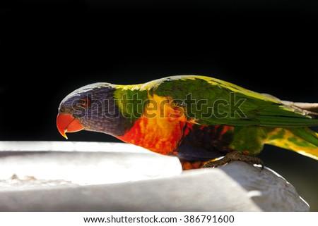 Rainbow Lorikeet on feeding bowl - stock photo