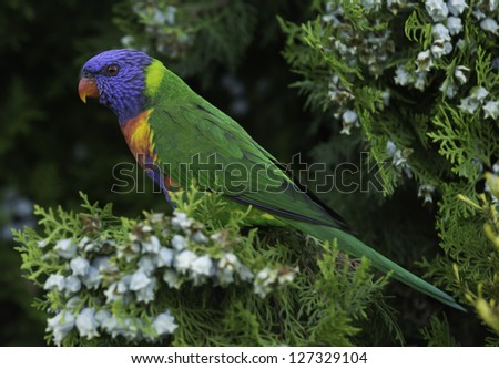 Rainbow lorikeet (Trichoglossus haematodus), a colourful parrot found in Australia, sitting on a bush.
