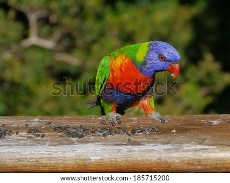 Rainbow lorikeet (Trichoglossus haematodus) is a colorful bird of the parrot family - stock photo