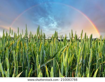 Rainbow over green wheat field - stock photo
