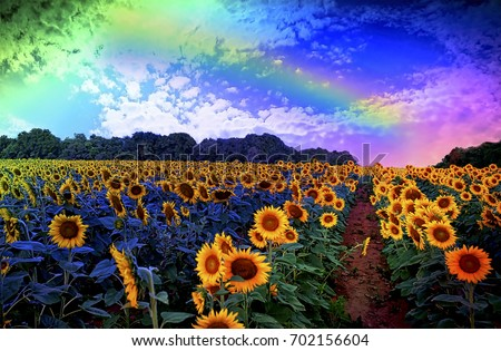 rainbow over sunflower field, photoshopped illustration