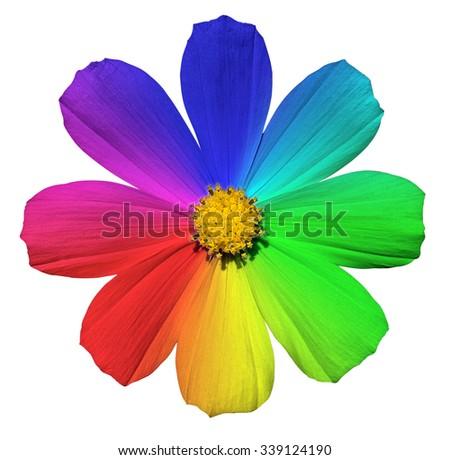 Rainbow Primula flower macro isolated on white - stock photo