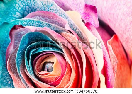 Rainbow Rose, close-up, macro. - stock photo