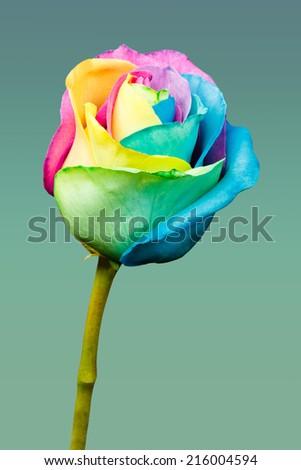 Rainbow rose flower - stock photo