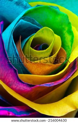 Rainbow rose macro - stock photo