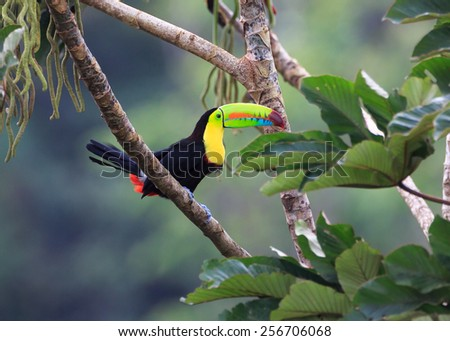 Rainbow Toucan Sees Lunch on the Tree.  - stock photo