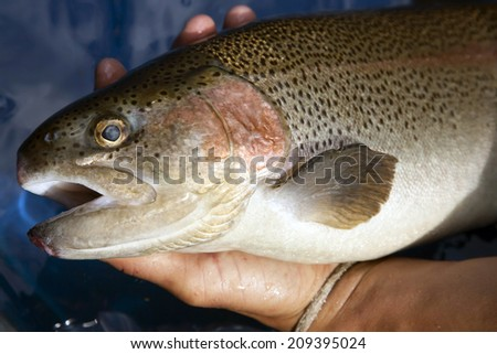 Rainbow Trout in hand - stock photo