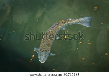 Rainbow Trout - Oncorhynchus mykiss - stock photo